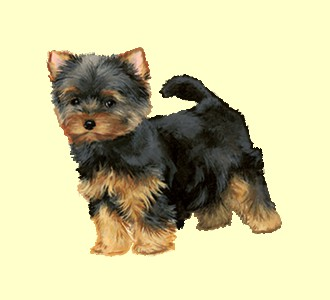 Yorkshire Terrier ##STADE## - coat 56
