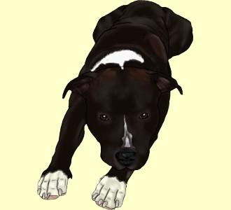 American Staffordshire Terrier Adult - coat 1340000054