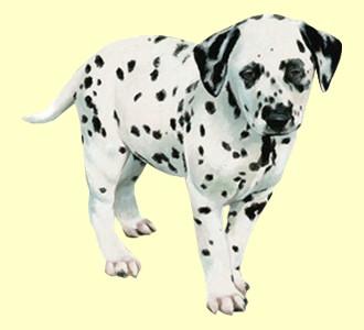 Dalmatian ##STADE## - coat 35