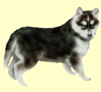 Siberian Husky ##STADE## - coat 51